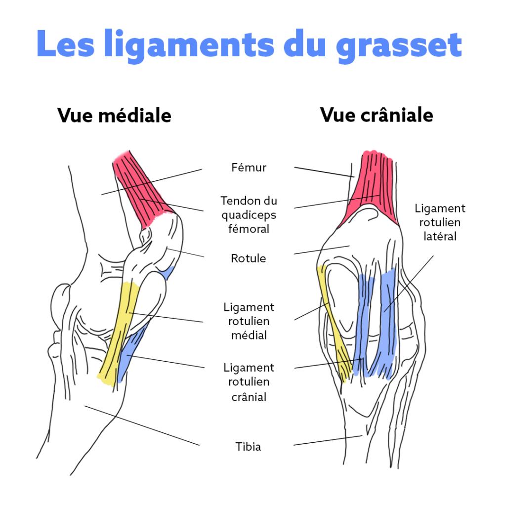 les ligaments du grasset chez le cheval