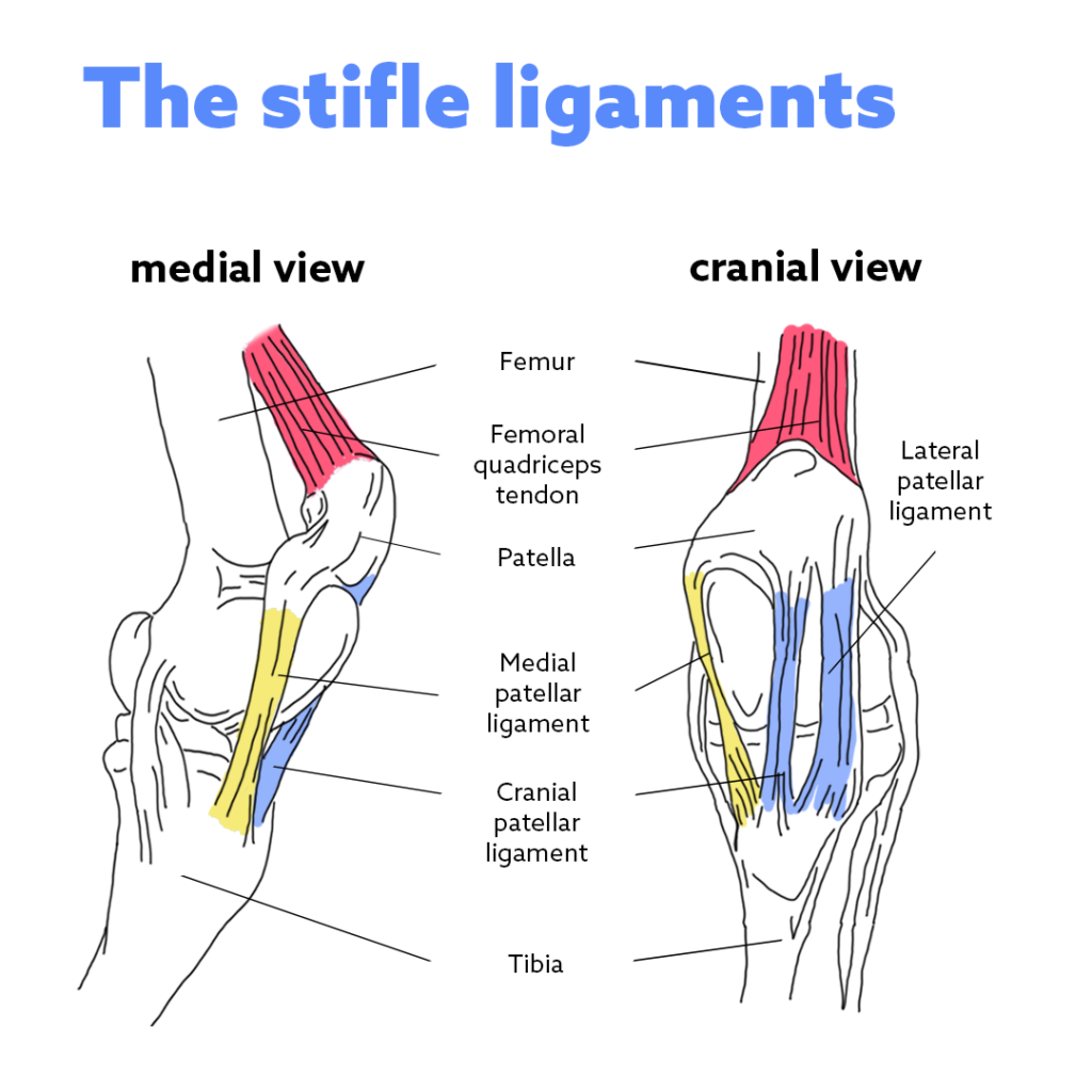 the stifle ligaments