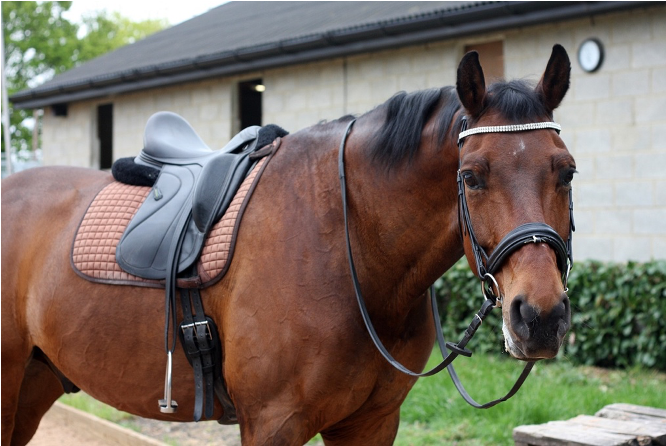 bay horse with a saddle