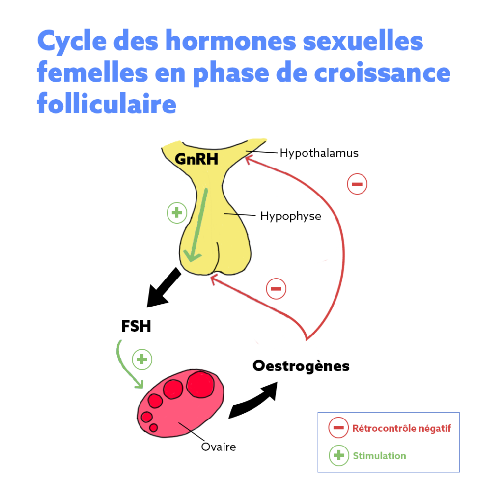 Schéma cycle des hormones sexuelles femelles en phase de croissance folliculaire