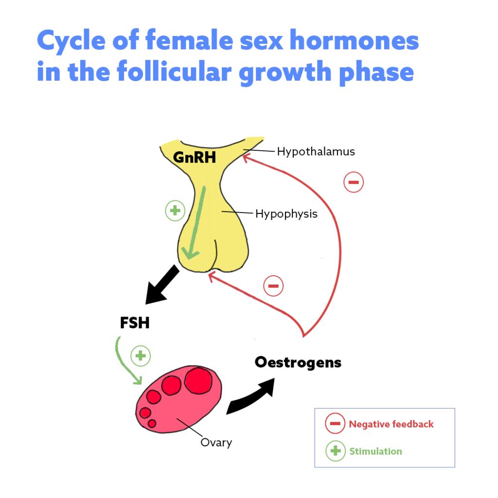 Cycle of female sex hormones in the follicular growth phase