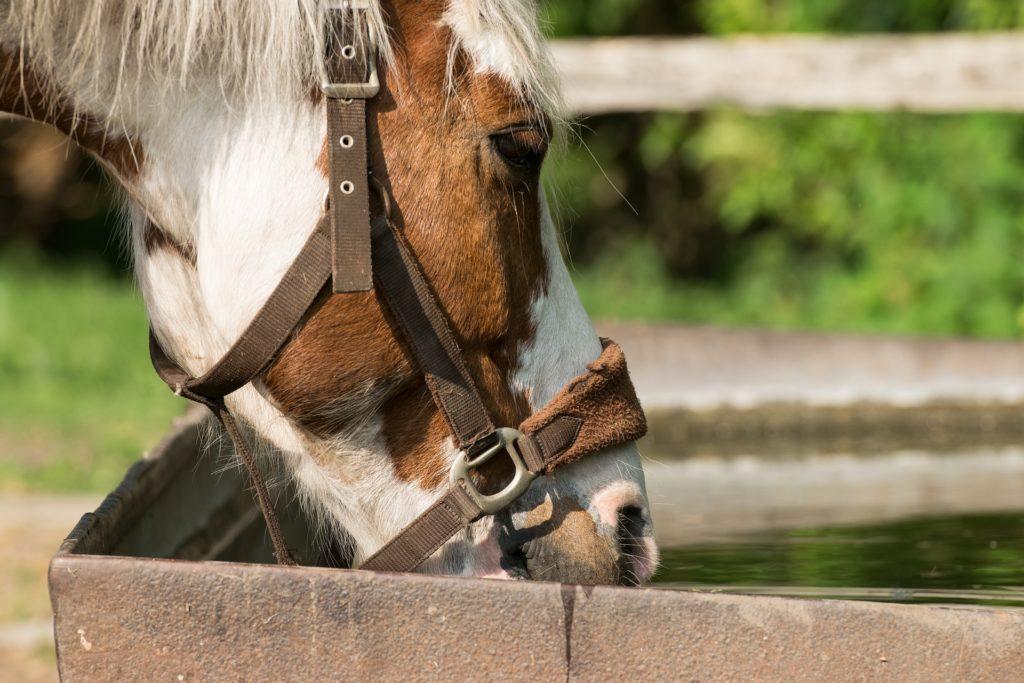 Il faut toujours vérifier que votre cheval ait de l'eau fraîche à sa disposition